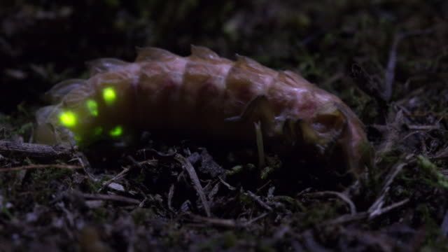 view of a pyrocoelia rufas (kind of firefly) molting at geumgang, mujugun - グローワーム点の映像素材/bロール