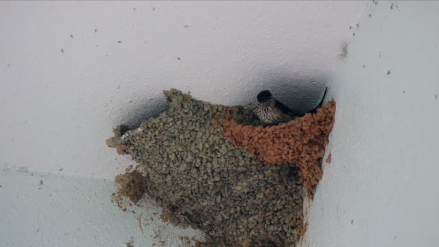 view of a red-rumped swallow and a swallow in their nest - 鳥の巣点の映像素材/bロール