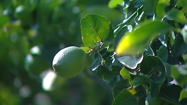 vídeos de stock, filmes e b-roll de view of a ripening lemon on a tree. - orgânico