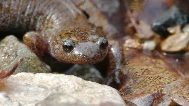 view of a salamander on the stone and fallen leaves at the valley - braun stock-videos und b-roll-filmmaterial