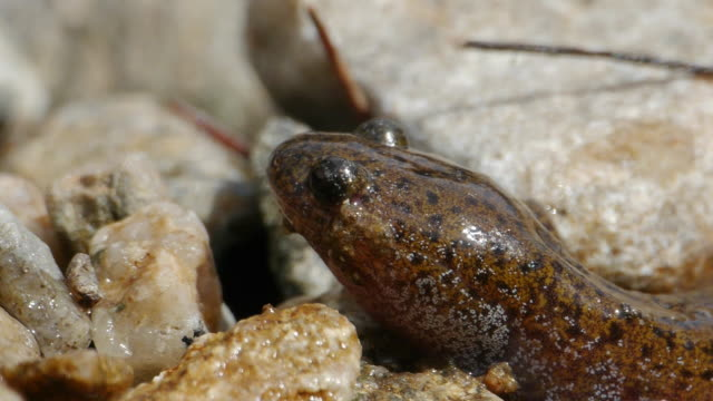 view of a salamander on the stone at the valley - braun stock-videos und b-roll-filmmaterial