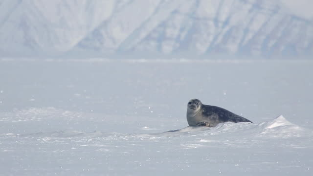 view of a seal in chuchill, canada - seals stock videos and b-roll footage