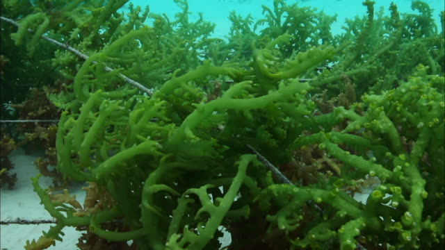 view of a seaweed farm under the carteret islands beach in papua new guinea - seaweed stock videos & royalty-free footage