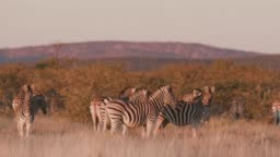 4K view of a small herd of zebra at sunset standing in the grasslands, Etosha National Park, Namibia