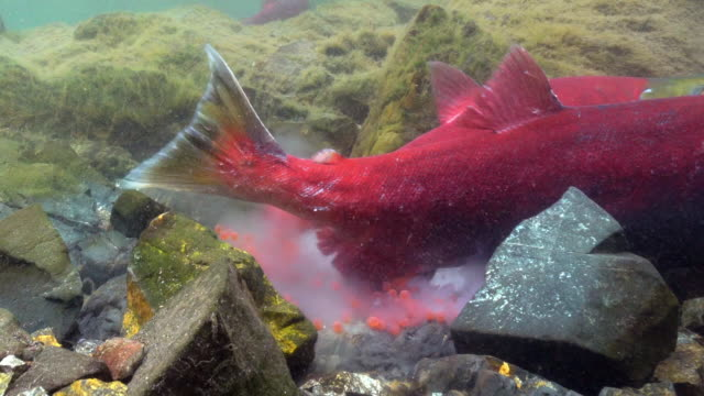 vidéos et rushes de view of a sockeye salmon spawning in kamchatka,russia - accouplement animal