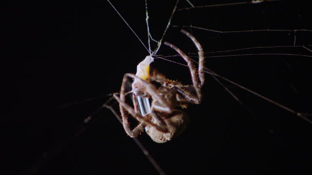 view of a spider spinning silk around the mayfly in chuncheon, gangwon province, south korea - trapped stock videos & royalty-free footage