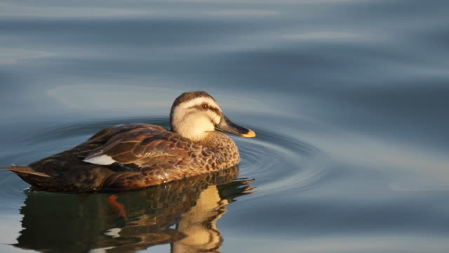 view of a spot-billed duck on the cheongchoho lake - anatra uccello acquatico video stock e b–roll