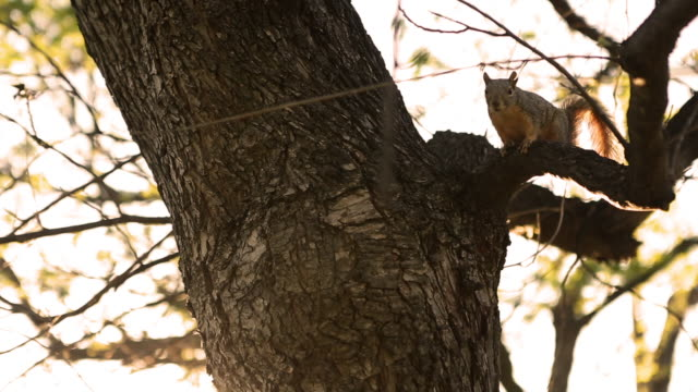 vidéos et rushes de view of a squirrel lying on tree branch then standing waving tail. - tronc d'arbre