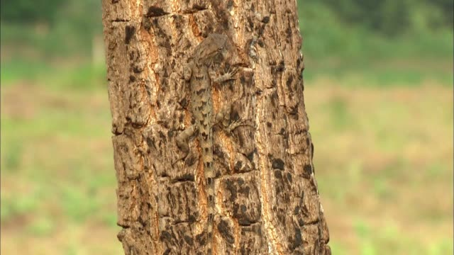view of a striped flying dragon on the bark of a tree - dragon tree stock videos & royalty-free footage