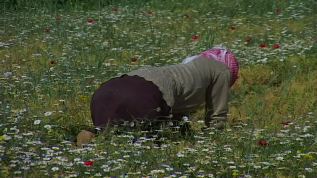 view of a syrian labourer working in a field of wildflowers. the ghab plain is a fertile region providing 41,000 hectares of irrigated farmland. - wildflower stock videos & royalty-free footage