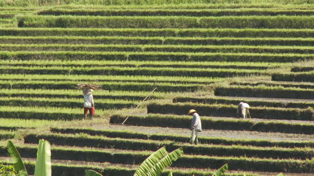 View of a terraced agriculture field in Bali, Indonesia