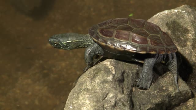 view of a tortoise jumping into the river water - turtle shell stock videos & royalty-free footage