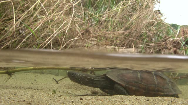 view of a tortoise walking through water surface of river - turtle shell stock videos & royalty-free footage