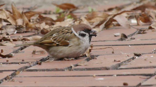 view of a tree sparrows searching prey between the bricks at olympic park - sparrow stock videos & royalty-free footage