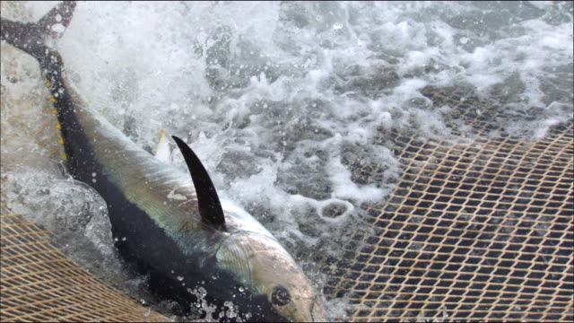 view of a tuna caught in a fishing net in the mediterranean sea - fishing net stock videos & royalty-free footage