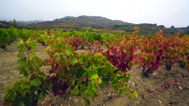 view of a vineyard in la rioja - grape leaf stock videos and b-roll footage