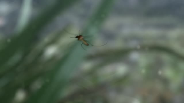 view of a wet mosquito got caugth in the rain in uiseong-gun, gyeongsangbuk-do, south korea - mosquito stock videos & royalty-free footage