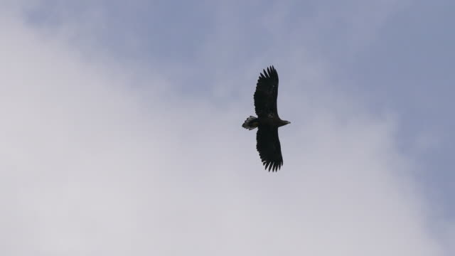 view of a white-tailed sea eagle flying in the sky - one animal stock videos & royalty-free footage