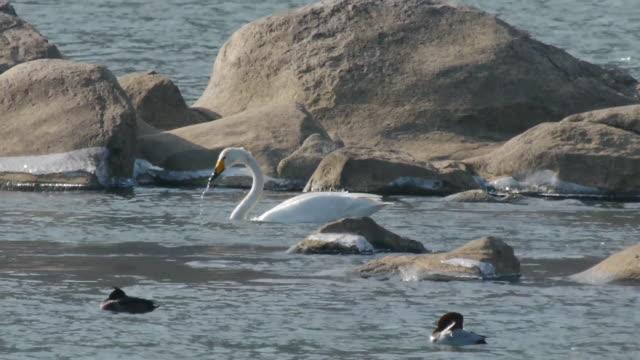 vidéos et rushes de view of a whooper swan searching prey on paldangho lake - petit groupe d'animaux