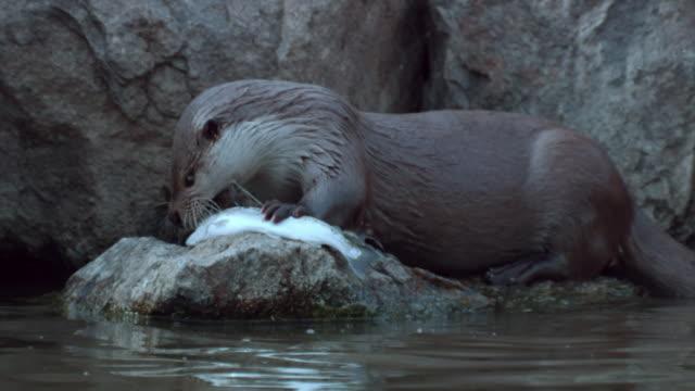 vídeos y material grabado en eventos de stock de view of a wild otter eating a fish in dmz (demilitarized zone, a strip of land running across the korean peninsula), south korea - nutria de río