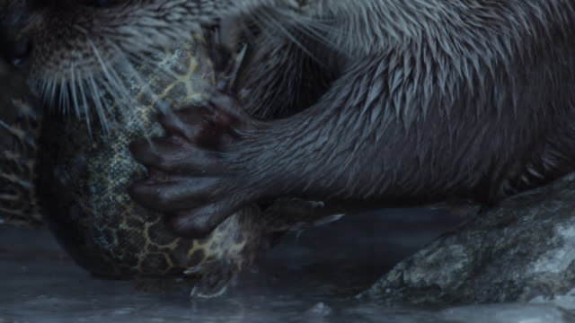 view of a wild otter eating a fish on the ice in dmz (demilitarized zone, a strip of land running across the korean peninsula), south korea - otter stock videos & royalty-free footage