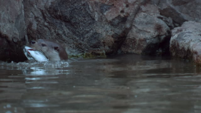 view of a wild otter hunting for fish in the river near dmz (demilitarized zone, a strip of land running across the korean peninsula), south korea - カワウソ点の映像素材/bロール