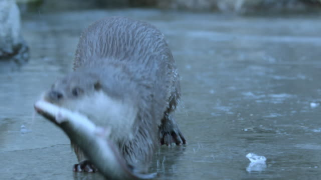 view of a wild otter hunting for fish in the river near dmz (demilitarized zone, a strip of land running across the korean peninsula), south korea - otter stock videos & royalty-free footage