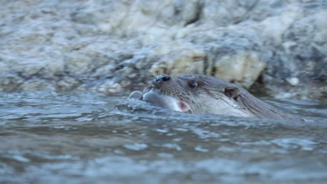 vídeos y material grabado en eventos de stock de view of a wild otter hunting for fish in the river near dmz (demilitarized zone, a strip of land running across the korean peninsula), south korea - nutria de río