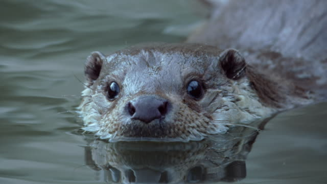 view of a wild otter in the river near dmz (demilitarized zone, a strip of land running across the korean peninsula), south korea - カワウソ点の映像素材/bロール