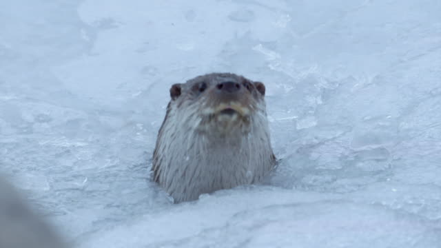 View of a wild otter out of frozen river in DMZ (Demilitarized zone, A strip of land running across the Korean Peninsula), South korea