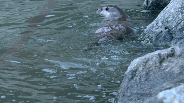 view of a wild otter swimming in the river near dmz (demilitarized zone, a strip of land running across the korean peninsula), south korea - カワウソ点の映像素材/bロール