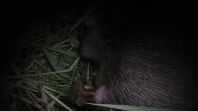 view of a wild pig breeding baby in the dark in dmz (demilitarized zone, a strip of land running across the korean peninsula), south korea - creazione animale video stock e b–roll