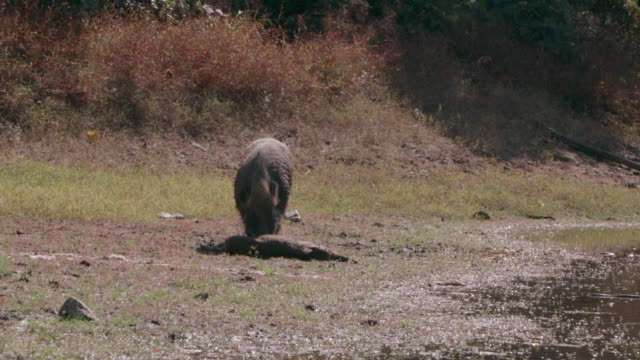 View of a wild pig eating the dead wild baby pig in DMZ (Demilitarized zone, A strip of land running across the Korean Peninsula), South korea