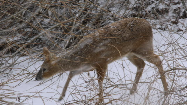 vidéos et rushes de view of a wild roe deer on snowfield near dmz (demilitarized zone, a strip of land running across the korean peninsula), south korea - famille du cerf