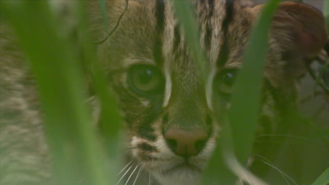 View of a wildcat in DMZ (Demilitarized zone, A strip of land running across the Korean Peninsula), South korea