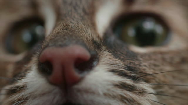 vidéos et rushes de view of a wildcat in dmz (demilitarized zone, a strip of land running across the korean peninsula), south korea - tête composition