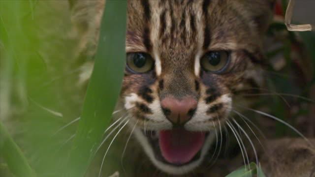 vidéos et rushes de view of a wildcat in dmz (demilitarized zone, a strip of land running across the korean peninsula), south korea - lynx