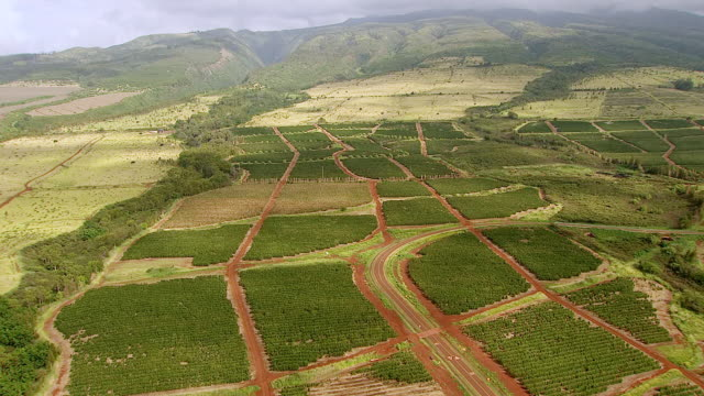 ws aerial view of acres of coffee trees on island of maui / hawaii, united states - pacific islands stock videos & royalty-free footage