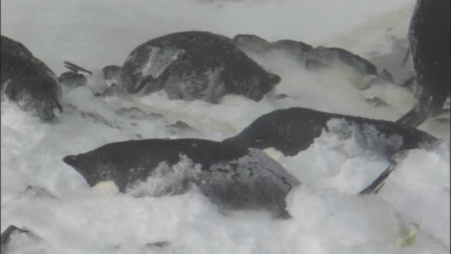 WS View of Adelie penguin (Pygoscelis adeliae) colony, individuals incubating eggs in gusting snow / Devil Island, Antarctic Peninsula, Antarctica