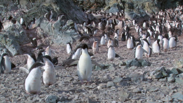 ws view of adelie penguin (pygoscelis adeliae) colony with adults and chicks flapping wings / antarctica - tierkolonie stock-videos und b-roll-filmmaterial