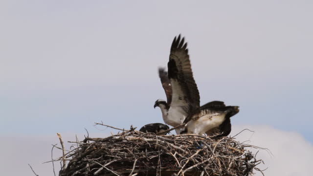 ws view of adult feeding two fledgling osprey in nest / grand lake, colorado, united states - osprey stock videos & royalty-free footage