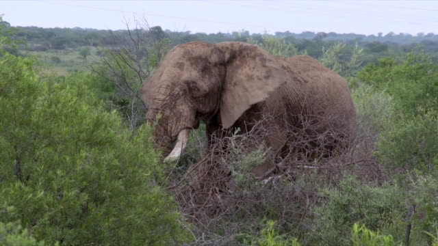 MS View of African Elephant grazing on trees and greenery / Pilanesberg National Park, North West Province, South Africa