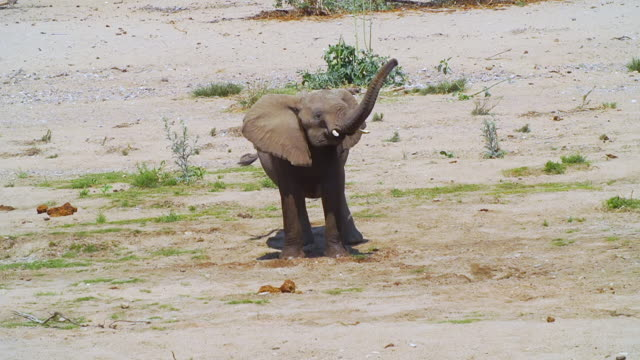 vidéos et rushes de ws view of african elephant standing in desert / etosha national park, namibia  - éléphanteau
