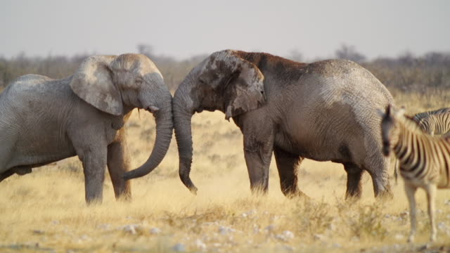 WS View of African Elephants and Zebras in savannah / Etosha National Park, Namibia