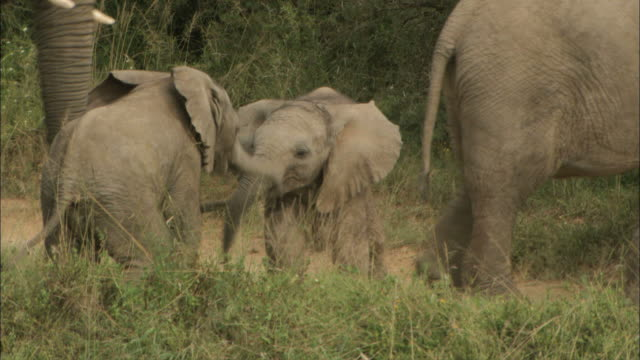 ms view of african elephants calves playing / south africa, africa - kalb stock-videos und b-roll-filmmaterial