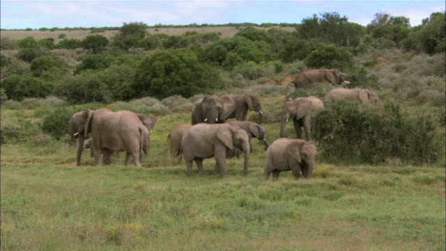 ws view of african elephants herding on grassland / south africa, africa - medium group of objects stock videos & royalty-free footage