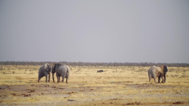 WS View of African Elephants in savannah / Etosha National Park, Namibia