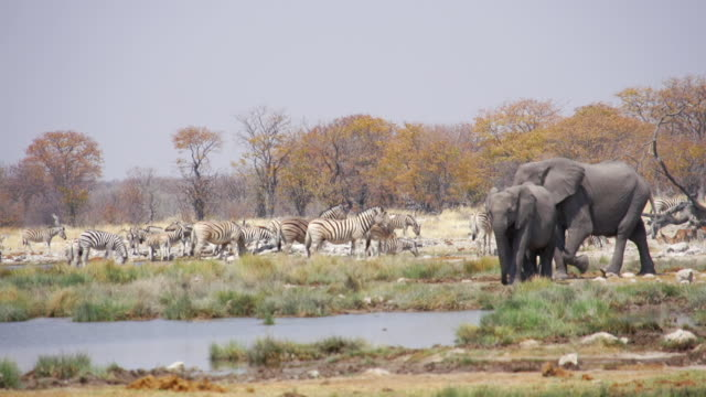 vídeos de stock, filmes e b-roll de ws pan view of african elephants walking in savannah, impalas foregrounded / etosha national park, namibia - caldeirão água parada
