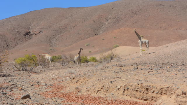 ws view of african northern desert safari and pale giraffe with trees in puros conservancy sand and mountains / namib desert, namibia, south africa - small group of animals stock videos & royalty-free footage