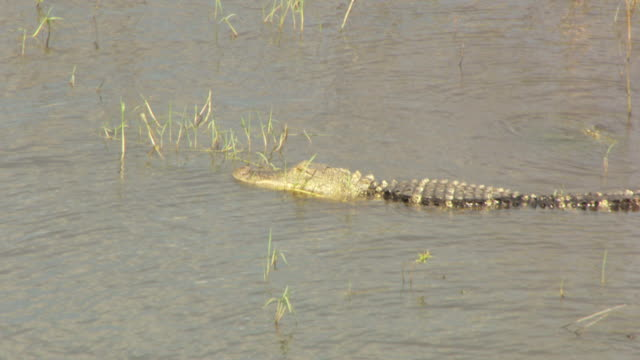 MS AERIAL View of alligator full body in water wading / Lake Okeechobee, Florida, United States